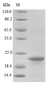 SDS-PAGE- Recombinant protein Bordetella BB3856