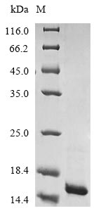 SDS-PAGE- Recombinant protein Escherichia clpS