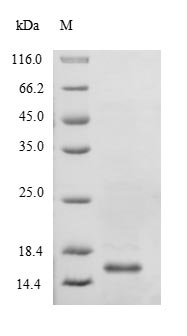 SDS-PAGE- Recombinant protein Escherichia yjeE