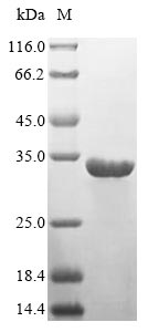 SDS-PAGE- Recombinant protein Human HLA-DRA