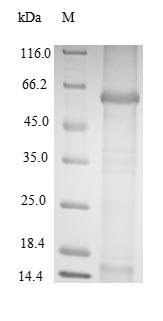SDS-PAGE - Recombinant BK polyomavirus Major capsid protein VP1