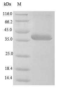 SDS-PAGE - Recombinant BK polyomavirus Minor capsid protein VP2