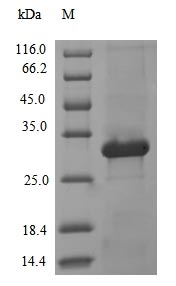 SDS-PAGE- Recombinant protein Human L3