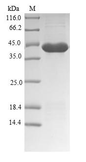 SDS-PAGE - Recombinant Dog Cationic trypsin