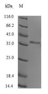 SDS-PAGE - Recombinant Human rhinovirus A serotype 89 Genome polyprotein