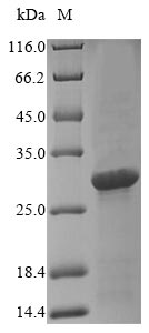 SDS-PAGE- Recombinant protein Staphylococcus entA