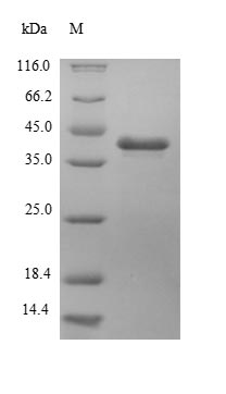SDS-PAGE- Recombinant protein Escherichia hph