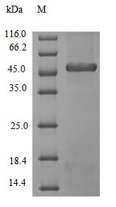 SDS-PAGE- Recombinant protein Bacillus apr