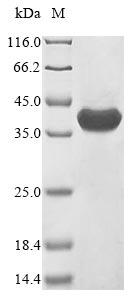SDS-PAGE - Recombinant Naja kaouthia Alpha-cobratoxin