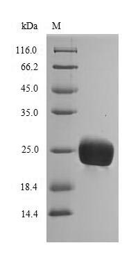SDS-PAGE- Recombinant protein Hevea HEV1