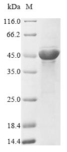 SDS-PAGE- Recombinant protein Escherichia ompF