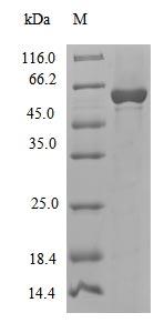 SDS-PAGE- Recombinant protein Cenarchaeum polC