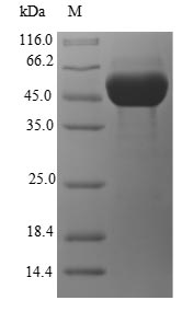 SDS-PAGE- Recombinant protein Escherichia ghrA