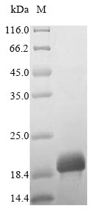 SDS-PAGE - Recombinant Tyrophagus putrescentiae Mite group 2 allergen Tyr p 2