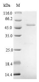 SDS-PAGE- Recombinant protein Alginate algL