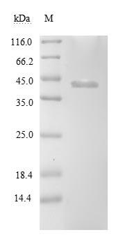 SDS-PAGE- Recombinant protein Borrelia clpP2