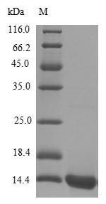 SDS-PAGE- Recombinant protein Human SCRG1