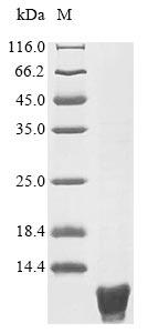 SDS-PAGE- Recombinant protein Escherichia csrA