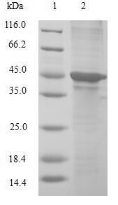 SDS-PAGE- Recombinant protein Human CIRBP