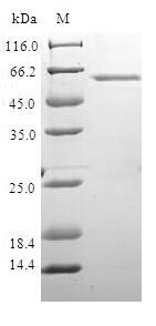 SDS-PAGE- Recombinant protein Human XRCC4
