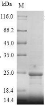 SDS-PAGE- Recombinant protein Human IL18