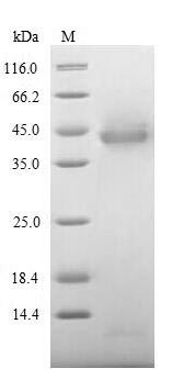 SDS-PAGE- Recombinant protein Human ITIH4