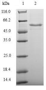 SDS-PAGE- Recombinant protein Human TEAD4