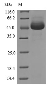 SDS-PAGE- Recombinant protein Human RIPK1