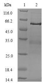 SDS-PAGE- Recombinant protein Human TRADD