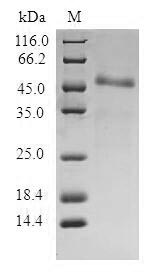 SDS-PAGE- Recombinant protein Human ITGB3BP