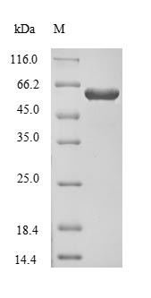 SDS-PAGE- Recombinant protein Human CRMP1