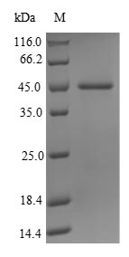 SDS-PAGE- Recombinant protein Human JMJD1C