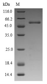 SDS-PAGE - Recombinant Phleum pratense Pollen allergen Phl p 5a