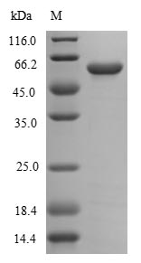 SDS-PAGE- Recombinant protein Campylobacter flaA