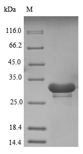 SDS-PAGE- Recombinant protein Human SNRNP70