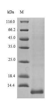 SDS-PAGE- Recombinant protein Human LCE3A