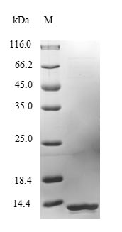 SDS-PAGE- Recombinant protein Mouse Ly6e