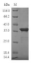 SDS-PAGE- Recombinant protein Human SUMO4