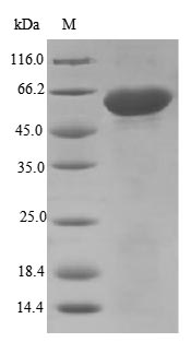 SDS-PAGE- Recombinant protein Mouse Adam12
