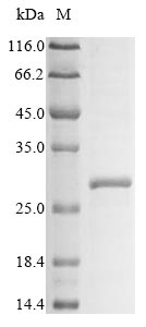 SDS-PAGE- Recombinant protein Mouse Klra3