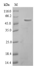 SDS-PAGE- Recombinant protein Mouse Aebp1