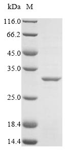 SDS-PAGE- Recombinant protein Symbiobacterium mutS