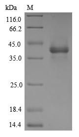 SDS-PAGE- Recombinant protein Human GFRAL