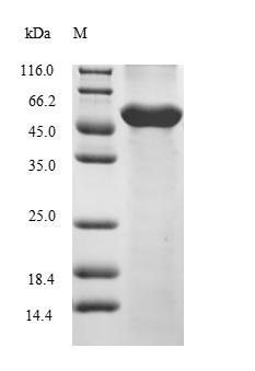 SDS-PAGE- Recombinant protein Danio cops2