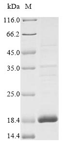 SDS-PAGE- Recombinant protein Human IGFL1