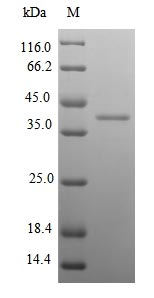 SDS-PAGE- Recombinant protein Mouse Klk14