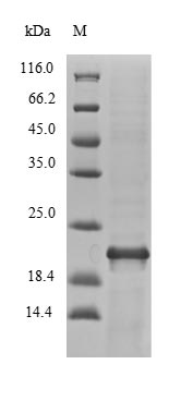 SDS-PAGE- Recombinant protein Vibrio nfuA