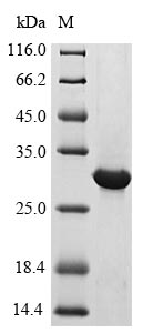SDS-PAGE- Recombinant protein Human IFNLR1