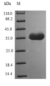 SDS-PAGE- Recombinant protein Human TMEFF1