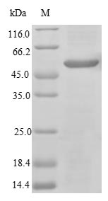 SDS-PAGE- Recombinant protein Mouse Il31ra
